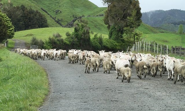 Sheep herded down the road
